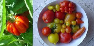 """verschiedene """"alte"""" Tomatensorten"""