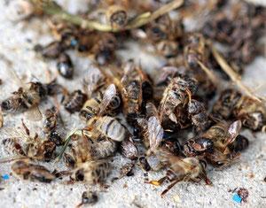 Bild Bienensterben