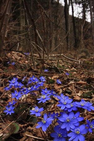 Frühlingsboten im Schwändiwald