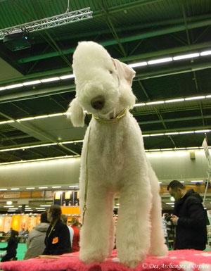 """ISOTOP'S Famous Icon """"Tsarine"""" jugée Meilleur puppy par Mme Rita Reyniers (Belgique) au Dog show d'Eindhoven."""