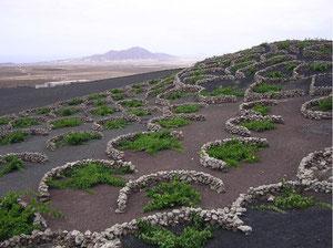 Imagen de La Geria (Lanzarote) ejemplo de un paisaje humanizado y con aprovechamiento agrícola. Si pulsas sobre la imagen tendrás otras imágenes comentadas de espacios agrarios