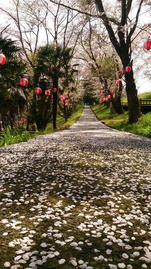 桜 散り際
