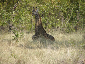 Girafe couchée