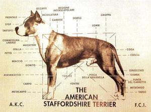 STANDARD DI RAZZA - Manu Forti Kennel - American staffordshire terrier, allevamento amstaff, cuccioli amstaff