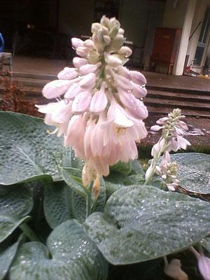 Hosta, Plantain lily