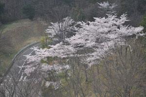 研究室から桜がみえる