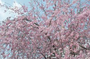 渡り廊下からみたしだれ桜