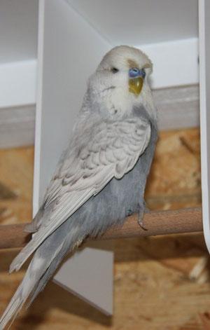 Edward - ein eher kleinerer Schauwellensittich in Grau+Spangle - er ist ca. im Mai 2011 geschlüpft (Züchter René Groiss aus Niederösterreich)