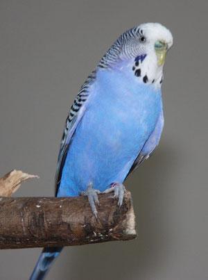 Blue: Normal Violett (Schlupfdatum: 2009 - nichts genaueres bekannt)