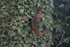 Hörnchen an Futterstelle (Anklicken zum Vergrößern)
