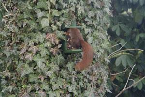 Hörnchen in Futterstelle (Anklicken zum Vergrößern)