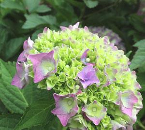 梅雨の季節。鳴子にも、かわいいあじさいたちが咲いております^^どんより曇っている日でも、あじさいを見るとなんだか元気になりますね♫