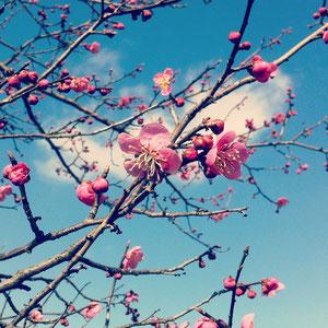 里山の梅が咲き始めました^^お山の春ですね〜
