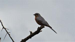 Silverbird, Silberschnäpper, Empidornis semipartitus