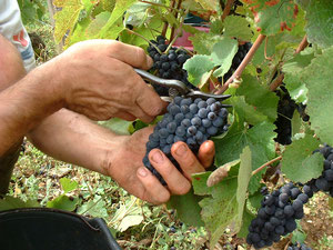 Les mains du vigneron