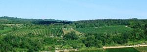 Le Cras, chardonnay, vigne en lyre.