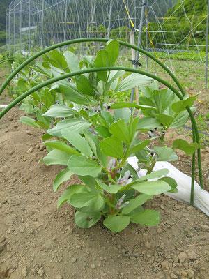 去年のこの時期の空豆。すくすくと育っていました。