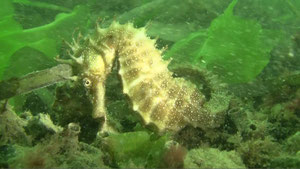Hippocampe moucheté - Bassin d'Arcachon - Juillet 2011