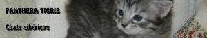 Chatterie Panthera Tigris