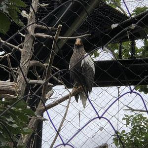 オジロワシ、オオワシの鳥舎の写真