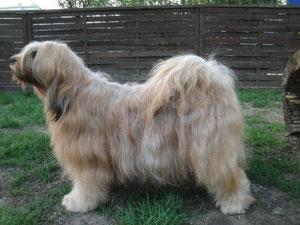 Man-Dara-Wa Lha-shi-wa Tibet Terrier Hündin