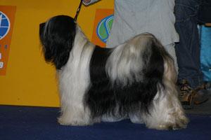 E-na-ya-Skar-ma von Man-Dara-wa Tibet Terrier Hündin