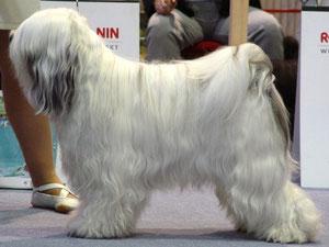 Seshika's D'Nampar nagza of Shambavara Tibet Terrier Rüde