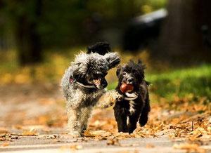 deux chiens courrent dont un tient dans sa gueule un marron par coach canin 16 educateur canin à Angoulême