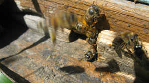 Пчёлки труженницы