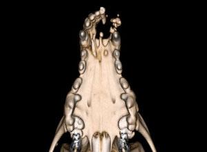 犬の扁平上皮癌 3D