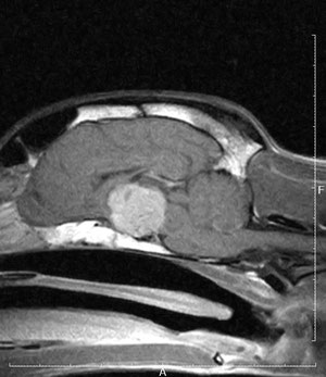 犬の下垂体腫瘍