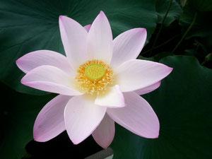 蓮の花 (撮影:しば)