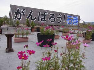 10月 コスモス植栽