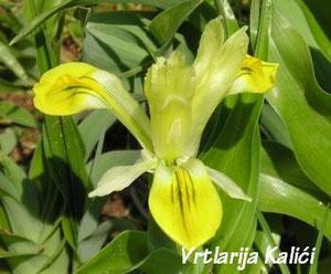 Cvijet I. bucharica