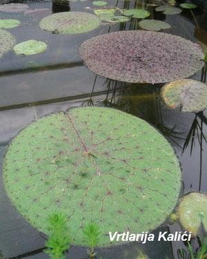 Euryale ferox u punom rastu.