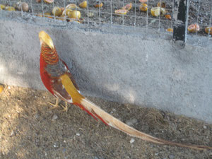 Dorado Canela