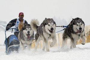 Schlittenhunde bitte rechts klicken >>>>>>>>>>>>