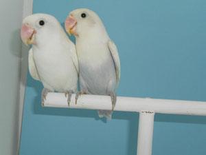 Fischeris Decino / Pastel (macho y hembra)
