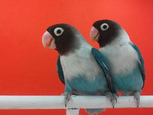 Personata Azul Cobalto (macho y hembra)