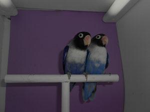 Personatas Violetas (macho y hembra)