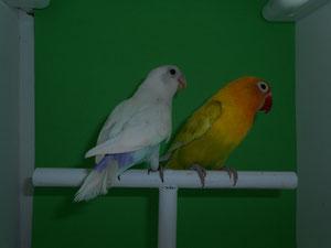 Fischeris Azul Pastel (macho) y Verde Pastelina (hembra)