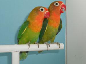 Fischeris Verde Ancestral (macho y hembra)