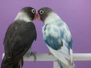 Personata Arlequín (macho) y Personata Malva (hembra)