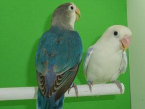 Fischeris Arlequin Pastel (macho) y Azul Cobalto (hembra)