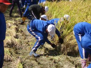 稲刈り(5学年)