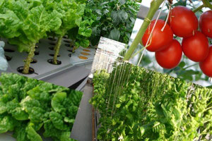 水耕栽培で生産実績のある野菜