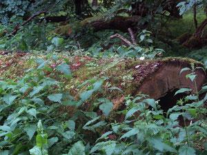 Ein Baumstamm, aus dem neues Leben entsteht. Foto: Reinhard Wagner