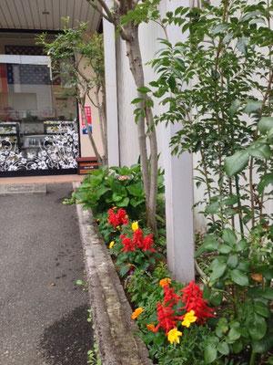 開店前に両親が植えてくれたお花が咲き広がってきました。