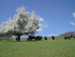 So lieben es die Buffalo