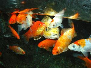 Goldfische und Kois